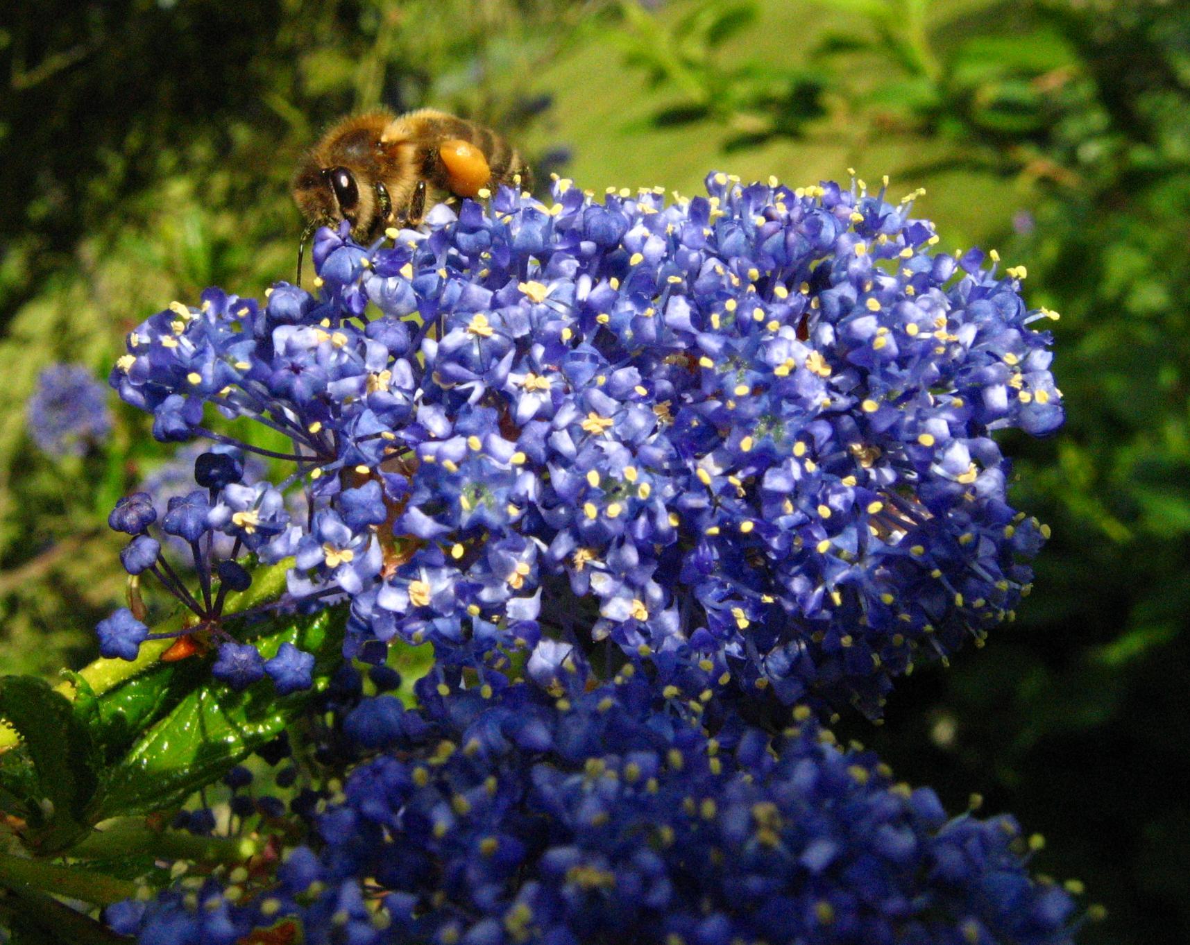 Bee on Ceanothus 2