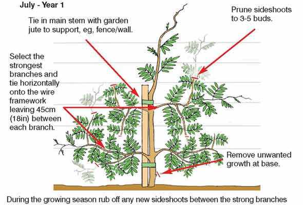 How To Grow And Prune Wisteria Aunty Lil S Place Best Gluten
