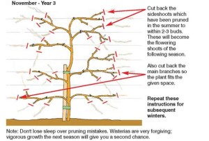 wisteria-november-2