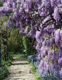 wisteria-path