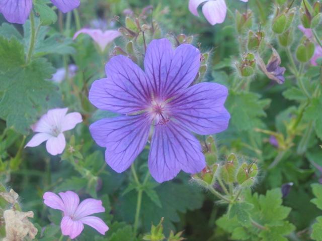 Geranium magnifica 'rosemoor' i think