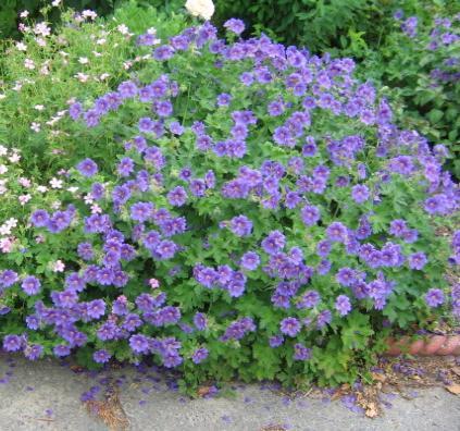 Grandiflora geranium