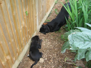 Rottweiler digging under fence
