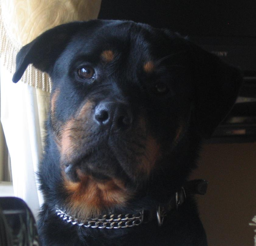 Jed the Rottweiler