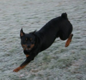The bouncing Rottweiler