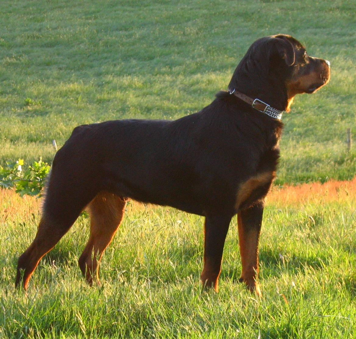 Jed the young rottie