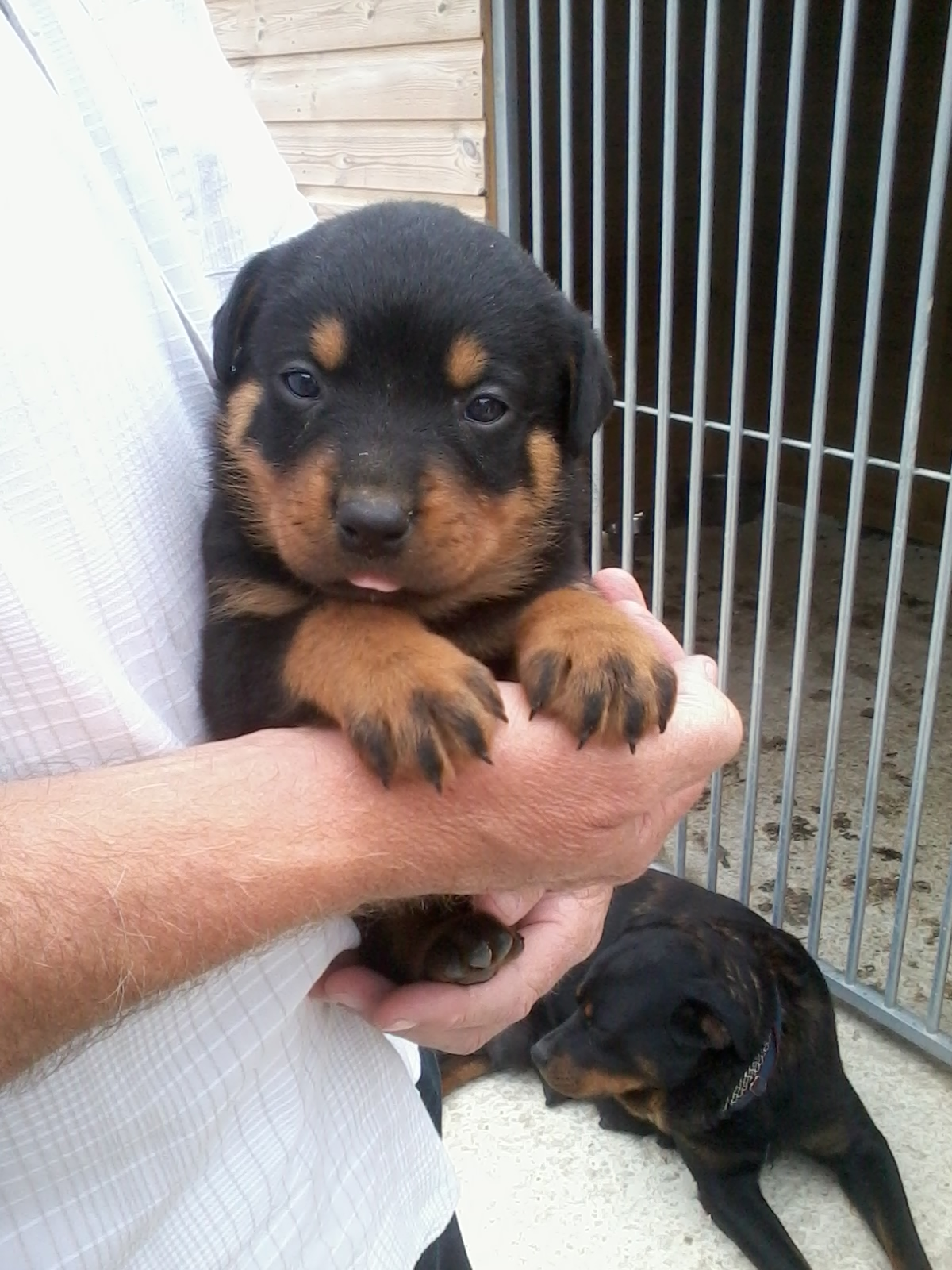 Jake the Rottweiler at 4 weeks old