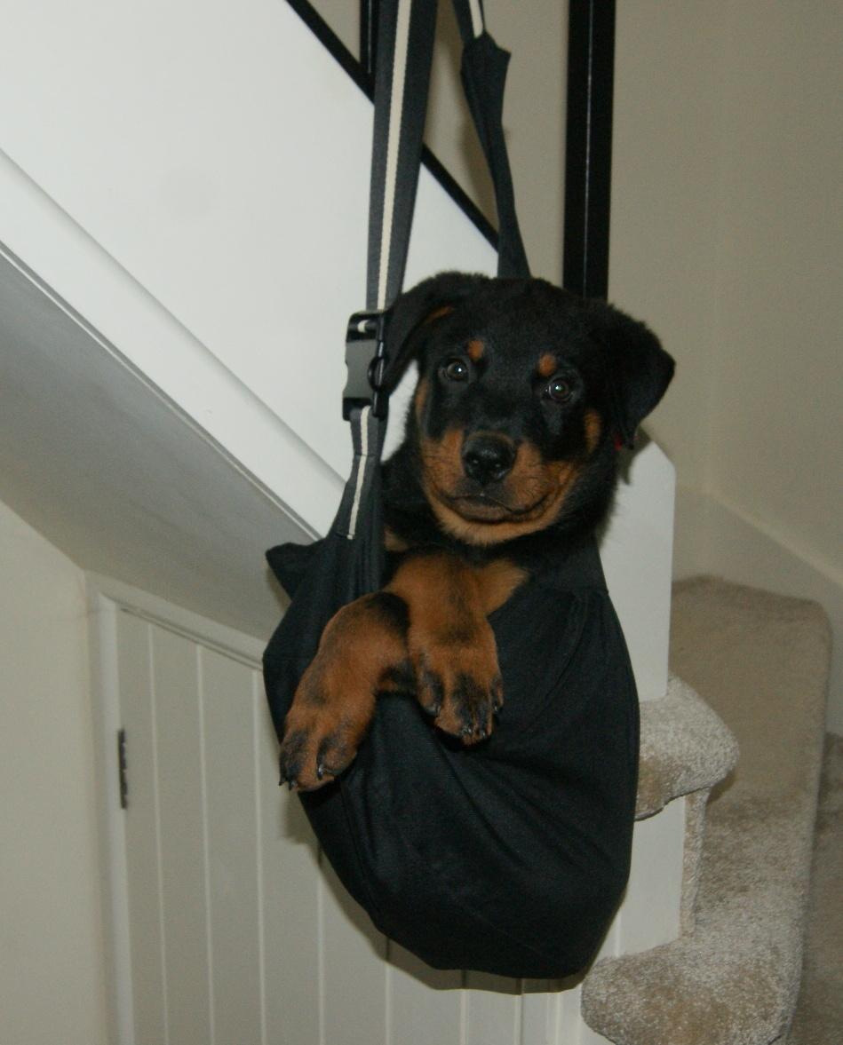 puppy rottweiler in a bag