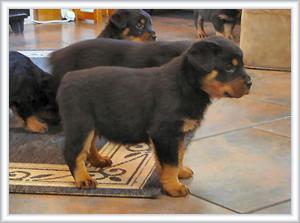 Puppy rottweilers 5 weeks